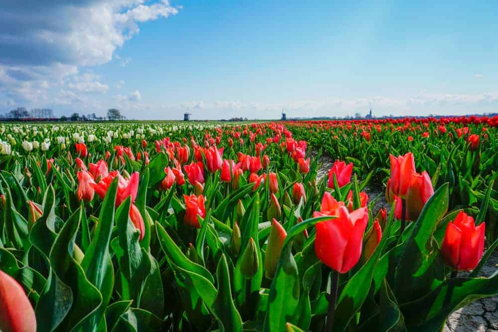 Tulip tours to take from Amsterdam