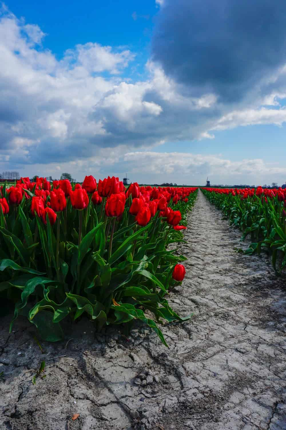 Your ultimate tulip fields in Netherlands guide and how to see the tulip fields near Amsterdam, and without the crowds. Take beautiful tulip fields Netherlands photography that you will have forever, and see other Netherlands travel destinations you never thought about. #travel #tulips #netherlands