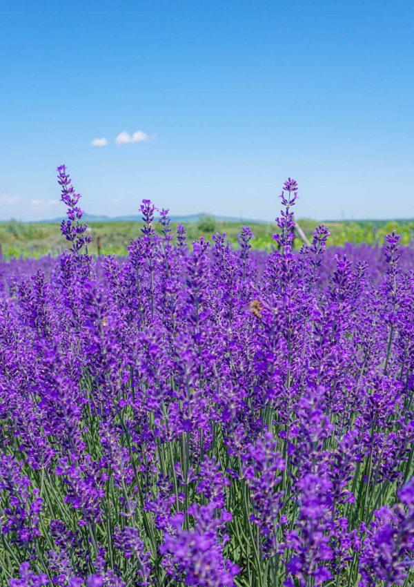 Lanuri de lavanda in Romania, the new thing